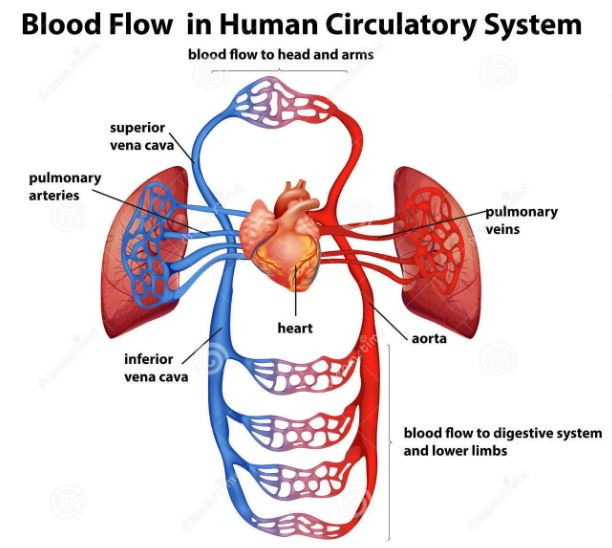 Blood And The Circulatory System Biology Material Upsc Tet Rrb
