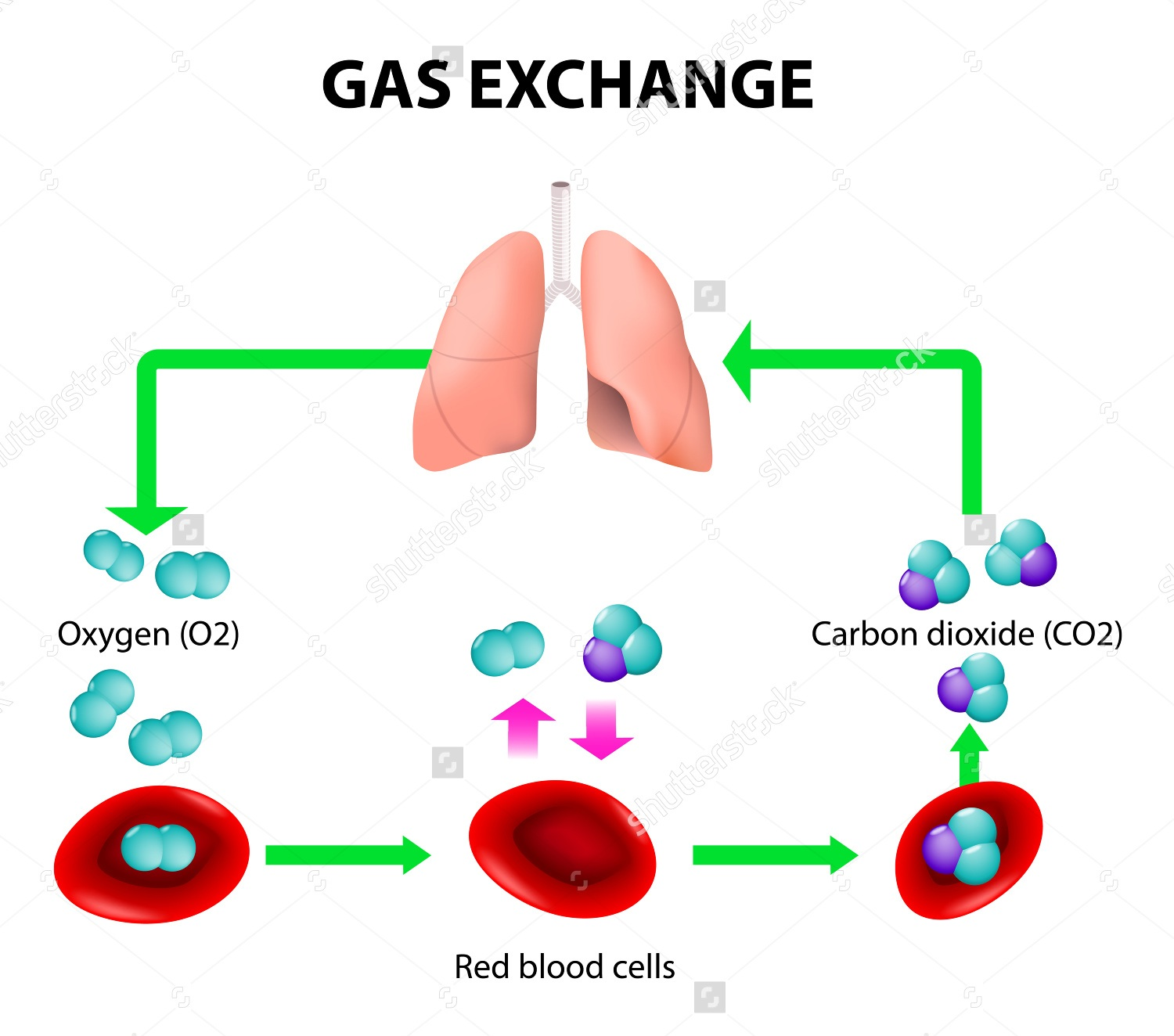 Photo of Gas Exchange Biology Study Material