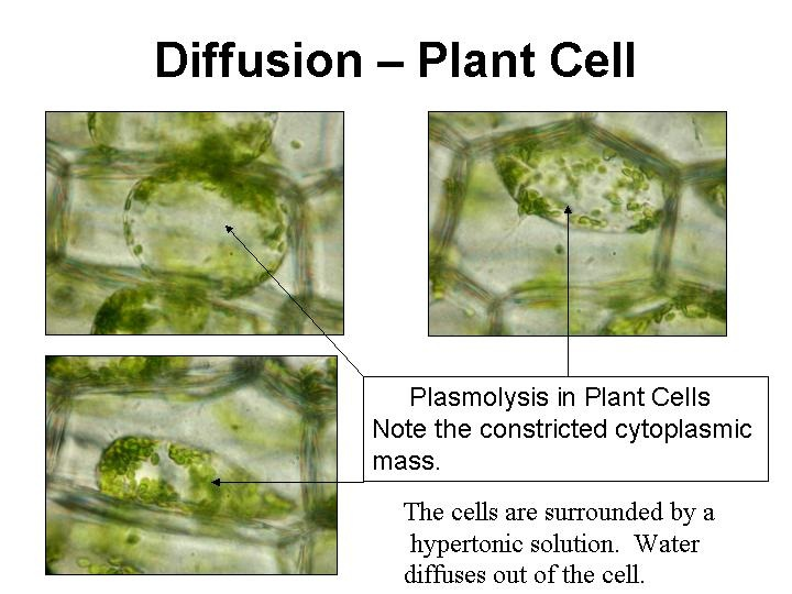 Example of Diffusion In Plant Cells Biology Study Material