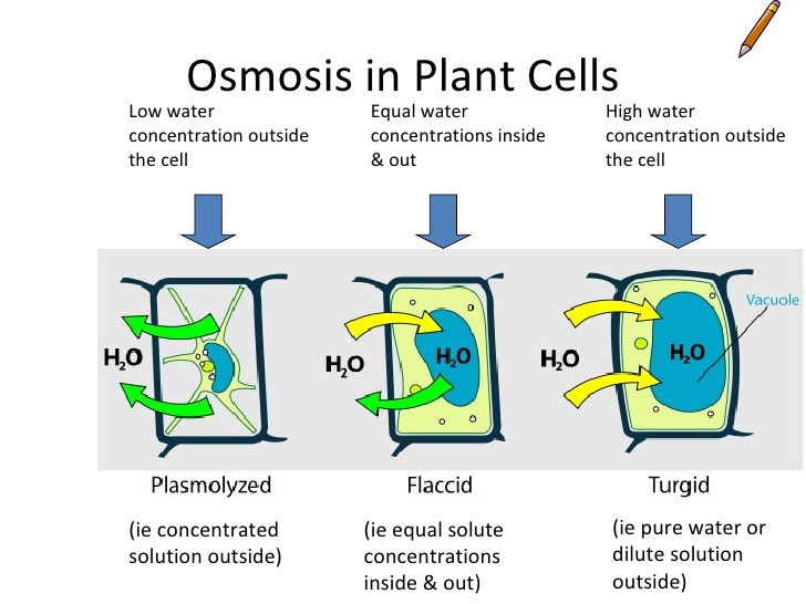 osmosis in cells