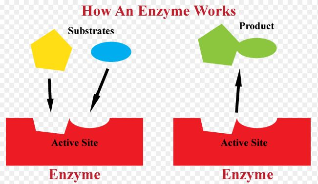 how enzymes work in the home Enzymes work by helping you to:  if the enzymes are not on the hospital's formulary (internal stock), you may need to bring your enzymes from home.