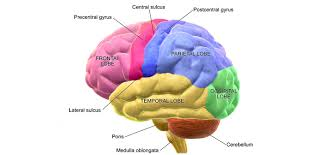 Some Information About the Brain